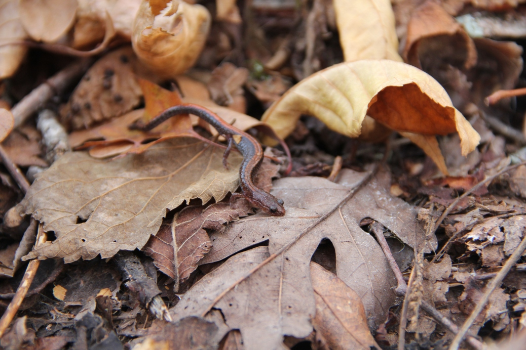 The southern red-backed salamander resides in Missouri's forested areas | Credit: MU News Bureau